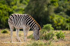 DSC02715.jpg (ChrMous) Tags: tamronsp150600mmf563 southafrica zoogdieren zuidafrika animals sonyslta99 2016 easterncape steppezebra addoelephantnationalpark burchellszebra equusburchelli