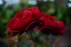 The Two of Us (Ptolemy the Cat) Tags: rose redrose love flower bloom bokeh blur nikond600 nikonf355628300mmlens nature garden outdoors togetherness mateship