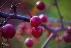 Fall (Explored) (amndcook) Tags: michigan outdoors tree amandacook autumn berry crabapple fall fruit macro nature photo photograph red season spiritledphotography