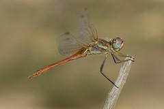 Mr Fonscolombii (jrosvic) Tags: sympetrumfonscolombii dragonfly libellulidae liblula odonata odonato anisoptera anisoptero freehand nikon60mm28dmicro nikond7100 kenkopro300x14 cartagena murcia spain entomology entomologa macro closeup