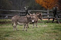 D is for donkey. D is for democracy. (beyondhue) Tags: donkey farm democratic party symbol fall autumn fence beyondhue ottawa jackass