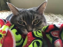 Ruby, disturbed from her nap (sctatepdx) Tags: kitty tabbycat tabby graycat diabeticcat