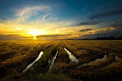 Paddy Field (Laidm) Tags: paddy field sunset wallpaper beautiful sun landscape ray lights clouds background