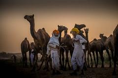 L1002823.jpg (Bharat Valia) Tags: pushkarfair bharatvalia desert bharatvaliagmailcom pushkarmela pushkarimages festivalsofindia pushkar camel pushkarcamelfair sheperd