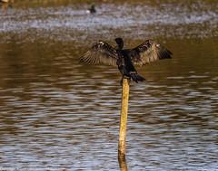 9Q6A9235 (2) (Alinbidford) Tags: alinbidford alancurtis brandonmarsh goldeneye cormorant greyheron heron shoveler greatcrestedgrebe kestrel shelduck wildfowl