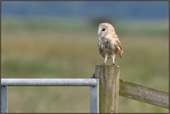 Barn Owl (image 2 of 2) (Full Moon Images) Tags: woodwalton fen greatfen bcn wildlife trust nnr national nature reserve cambridgeshire bird prey birdofprey barn owl