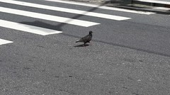 Quase Abbey Road / Almost Abbey Road (jadc01) Tags: aves birds d3200 nikon nikon1855mm streetphotography