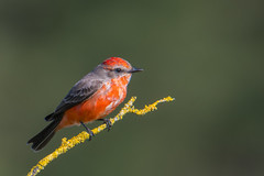 Vermillion Flycatcher - a rare bird in SF bay area (FollowingNature) Tags: ngc vermillionflycatcher rarebird sfbayarea followingnature sanmateocounty ca