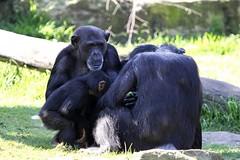 09-09-2016-taronga 387 (tdierikx) Tags: 09092016taronga tarongazoo taronga tdierikx chimpanzee sudi hannah ceres koko