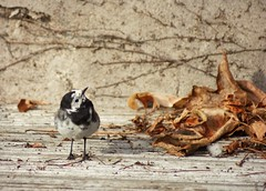 Pied Wagtail (Kim's Pics :)) Tags: piedmagtail wild bird animal cute inquisitive constantlymoving small blackwhite headtilt adorable toothpicklegs greatbritain england unitedkingdom dried leaves uk