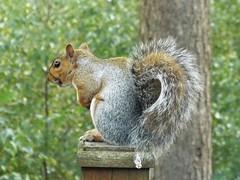 grey squirrel (47604) Tags: greysquirrel warmwell dorset animal bushy tail tree