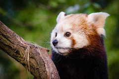 Red Panda Waiting For Lunch (Mathias Appel) Tags: grn red panda animal tier roter kleiner nikon d7000 bokeh cute adorable sweet niedlich ss sues suess tree green endangered species bedrohte tierart zoo tierpark deutschland germany female weiblich young bamboo baum jung ears ohren face gesicht tail schwanz nose nase orange fur fell high iso animals nature natur wildlife bedroht ailurus fulgens vintage 2015 mozilla firefox feet paws paw foot wochenende weekend spring frhling depth depthoffield field blur colorful art trees