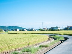 pathway in rice field (hazelog) Tags: gf1 lumixg20mmf17