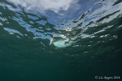 Australasian Gannets from underneath (Liz_Rogers) Tags: featured image ocean diving other reef birds gannets port phillip bay rebreather scuba underwater photography