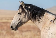 Wild Horse (cuddleupcrafts) Tags: onaqui wild horse herd wildlife image west desert great basin utah horses herds