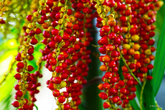 seeds of garden palmae (harrypwt) Tags: harrypwt 5dmarkii 50mm18 nigeria abuja nature flowers plant red