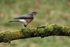 Male Sparrowhawk (Louise Morris (looloobey)) Tags: am0a8325 madmax sparrowhawk male wild alan scotland scottishphotographyhides nigel scott matt perch hide december2016
