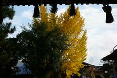 DSC02826 (MrSUIZOU) Tags: 京都 紅葉 北野天満宮 平野神社 十月桜