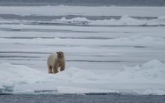 DSC_3480 (stacyjohnmack) Tags: july23 polarbear artic