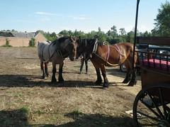 Chevaux de trait (gueguette80 ... non voyant pour une durée indéte) Tags: horses horse cheval aout draft chevaux somme trait 2015 epenancourt