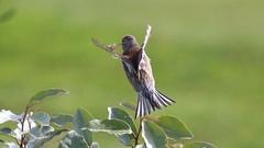 Linotte mlodieuse, Af, v (R, 2014-05-04_1) (th_franc) Tags: oiseau linottemlodieuse