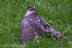 Tuinsafari: een havik met prooi (Werner Wattenbergh) Tags: birds fauna belgie hawk vogels bel antwerpen gardensafari havik kontich accipitergentilis tuinsafari