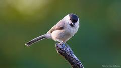 Bartcinke - Titmouse (Mr. Chapel) Tags: birds les canon hungary wildlife chapel 7d l titmouse 56 400mm ferenc puruczki