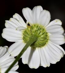 Tanacetum parthenium (L.) Sch.Bip., Mutterkraut (Gartenform, verwildert) , NGID1973181920 (naturgucker.de) Tags: tanacetumparthenium naturguckerde crolftheodorborlinghaus spf105 ngid1973181920