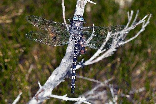 Tasmanian darner dragonfly Austroaeschna tasmanica