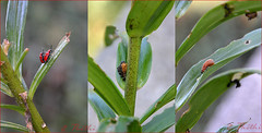 150813 tiClN 151021© Théthi (thethi (pls read my first comment, tks)) Tags: nature insecte macro triptyque mosaïque collage coléoptère lis rouge nuisible chrysomelidae criocère lilioceris lilii namur wallonie belgique belgium setnamurcity setvosfavorites bestof2015 faves58 setmosaiques setwings setmorethan20fvs20142015