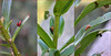 150813 tiClN 151021© Théthi (thethi: pls read the 1st comment :-)) Tags: nature insecte macro triptyque mosaïque collage coléoptère lis rouge nuisible chrysomelidae criocère lilioceris lilii namur wallonie belgique belgium setnamurcity setvosfavorites bestof2015 faves58 setmosaiques setwings