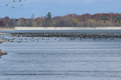 8F9A1147.jpg (ericvdb) Tags: bird geese canadiangeese muskegon wastewaterplant