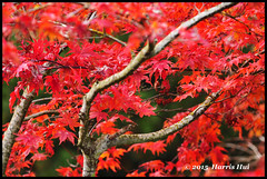 As Red As Blood - Cranebrook Ave N17531e (Harris Hui (in search of light)) Tags: autumn red canada tree fall leaves vancouver blood nikon bc walk richmond fallen soldiers tribute remembranceday remembrance maples neighbourhood fallensoldier macrolens inmemoryof d300 fallcolour sigma150mmmacro autumncolour nikonuser nikond300 asredasblood harrishui vancouverdslrshooter themaplescountry