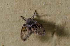 Hairy fly (mcvmjr1971) Tags: camera macro brasil lens nikon flash sb600 sigma off paulo so f28 150mm difuser difusor d7000 mmoraes
