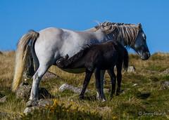 Mother (JKmedia) Tags: horse white nature animal countryside milk feeding wildlife mother drinking mum pony devon grassland livestock dartmoor foal westernbeacon 15challengeswinner