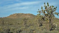 Joshua Trees, Mojave Desert, San Bernardino, California (Terathopius) Tags: california joshuatree mojavedesert yuccabrevifolia sanbernardinocounty mojavenationalpreserve