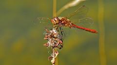 Frhe Heidelibelle, Sympetrum fonscolombii (staretschek) Tags: heidelibelle sympetrumfonscolombii frheheidelibelle segellibelle rotelibelle groslibelle