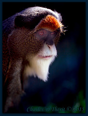 DeBrazza's Monkey / Cercopithecus neglectus (ctofcsco) Tags: 11250 1d 1div 20 200mm black brown canon colorado debrazzasmonkey debrazzas ef200mm ef200mmf2lisusm eos1dmarkiv eos1d explore eyes f2 face mark4 markiv monkey orange portrait shadow supertelephoto telephoto unitedstates usa white 2015 animal bokeh denver denverzoo explored geo:lat=3975024770 geo:lon=10494968870 geotagged nature northamerica statecapitol vinestreethouses wildlife wwwdenverzooorg zoo animalia chordata mammalia primates cercopithecidae cercopithecus cneglectus outdoor best wonderful perfect fabulous great photo pic picture image photograph