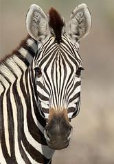 Equus burchelli (Burchell's Zebra) (Nick Dean1) Tags: white black southafrica mammal stripes stripe striped mammalia krugernationalpark equus satara equusburchelli burchellszebra