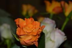 Be different (mariicorti) Tags: birthday orange flower colour macro rose amazing colore cousins rosa present romantic fiore compleanno arancio regalo romantica