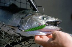 Michigan to cease chinook salmon stocking in Lake Superior (michiganapparelts) Tags: livnfreshcom michigan cease chinook salmon stocking lake superior