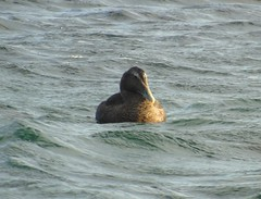 Eider duck (stuartcroy) Tags: orkney island eider duck duckling diving ducks scotland sea sony