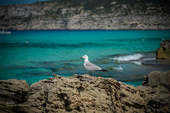 A seagull on rock (Oddiseis) Tags: formentera balearicislands spain escaldesantagust tramuntana sea mediterranean water waves rocks seagull birds marine coast litoral beach shore lamola cliffs tamron247028 island ithak animal