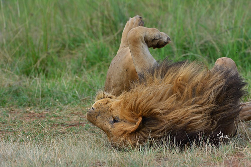Lazy Days! Lion in the Mara - 5886b+