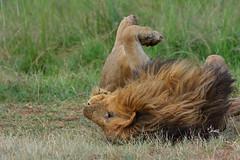 Lazy Days! Lion in the Mara - 5886b+ (Teagden (Jen Hall)) Tags: lazy lion malelion bigcat bigfive lions jenniferhall jenhall jenhallphotography jenhallwildlifephotography wildlifephotography photography nature naturephotography wildlife wild nikon masaimara masai mara masaimarakenya masaimaralion safari safarisunday kenyasafari africasafari africansafari dkgrandsafaris kenya kenyawildlife kenyaafrica marshpride marshpridelion marshpridelions africa africanwildlife african africanphotography