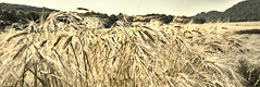 Emotion Environmental Systems (Environmental Informatics Marburg) Tags: emotionsbild environmentalsystems feld freizeit getreide moc malta privat region urlaub