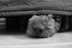 TARTLE, Ese momento de vacilacion de presentar a alguien porque te has olvidado su nombre (Lucia Corts Tarrag) Tags: perro dog escondite perrodeaguas hocico pelo babu cute