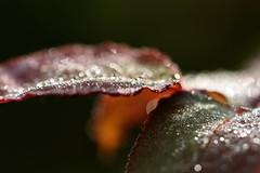 funkeln...sparkle (Gi.Vanella) Tags: rosenbltter morgentau sonne sunlight leafs morningdew