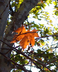 Falling (Kalsjon) Tags: fall falling leav autumn orange ikaria