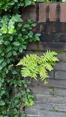 Urban fern in a wall (marieckejanssen) Tags: blindphotgrapher varen fern brick baksteen rotterdam green groen dryopteris filixmas